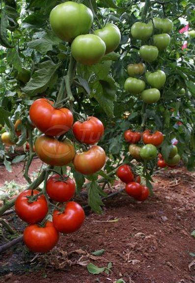 Tomato (Tybif)