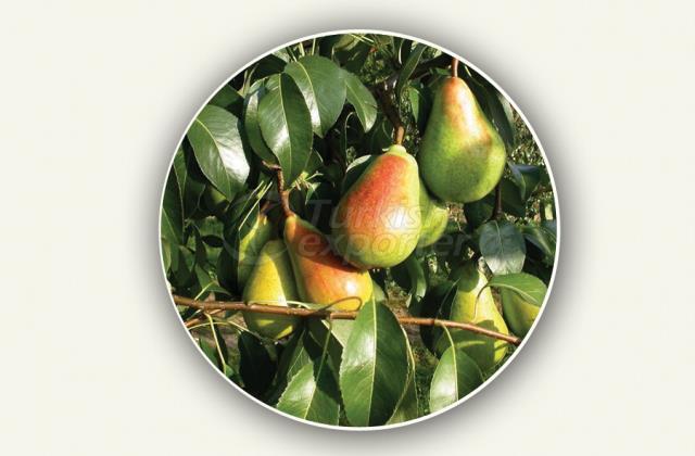 Pear Sapling