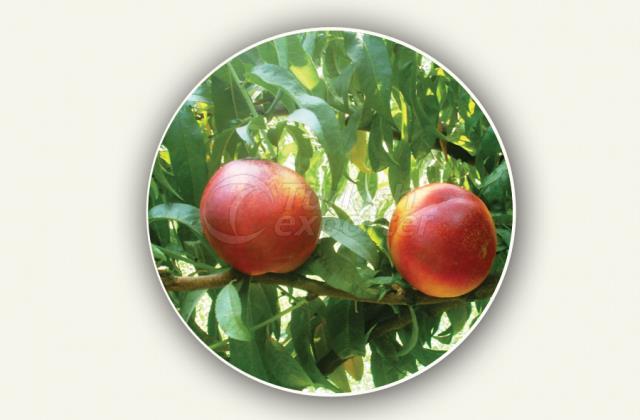 Nectarine Sapling