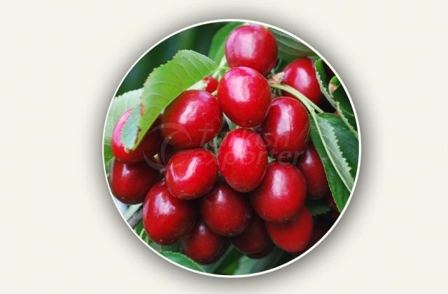 Cherry Sapling