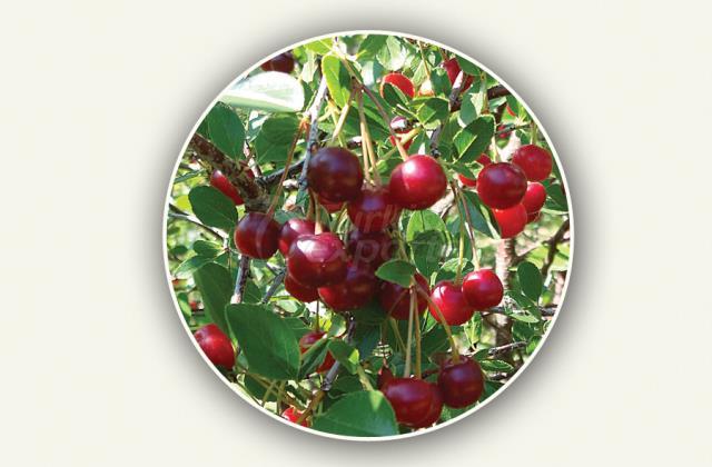 Sour Cherry Sapling