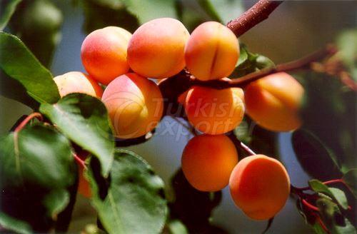 Malatya Apricot